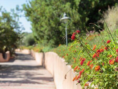 Group of Red Flowers Lantana Camara along a pathway inside a Garden.