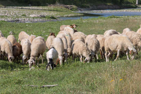Flock of Sheep Grazing Grass in a Streambed in Springtime. Imagens