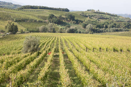 Green Hills in Tuscany with Vineyards, Italy.