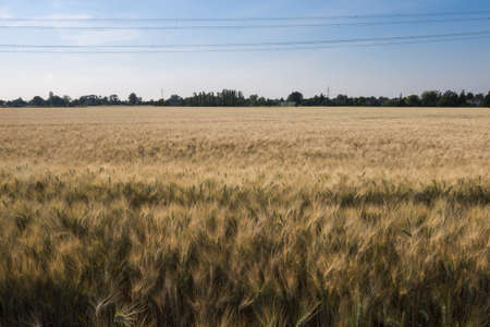 Meadow of Wheat Field in Spring and Blue Sky. Imagens