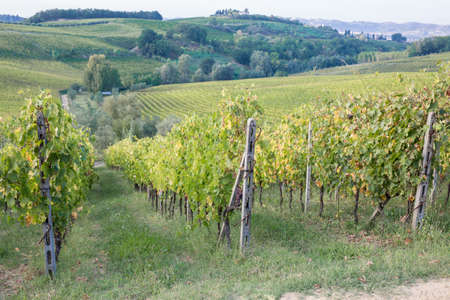 Close View of Plants with Vineyard in Tuscany, Italy.