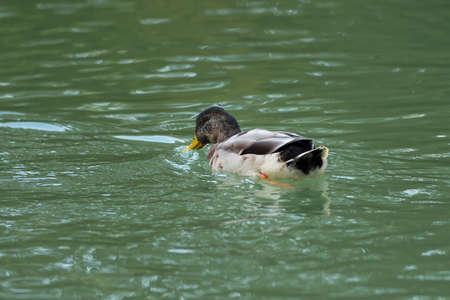 Common Gray Duck swimming inside Green Lake.