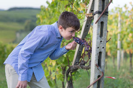 Boy with a Bunch of Black Grapes hanging in a Vineyard in Tuscany Hills, Italy.