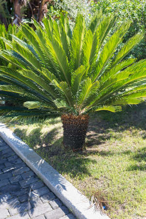 Green Small Palm Tree: Little Palmetto in a Garden.