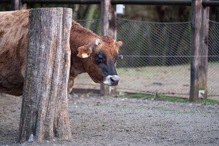 Closeup Portrait of Big Brown Cow inside a Fence near a Trunk.