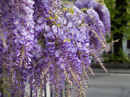Purple Wisteria Flowers in Clusters, Spring Nature Theme. 免版税图像