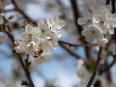 White Cherry Blossoms just Bloomed on a Tree in Springtime.
