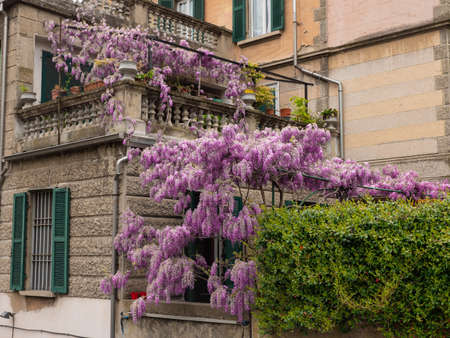Huge Flowering of Purple Wisteria Flowers in Clusters outside the House in Public Street, Spring Nature Theme.