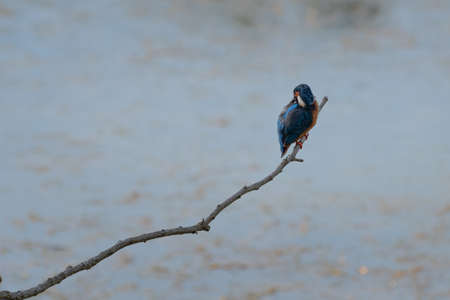 Splendid Exemplary with Beautiful Colors of Common Kingfisher, Alcedo atthis, on a Thin Branch.