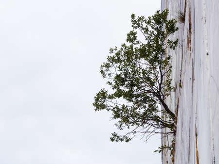La forza di una pianta nata su una parete in marmo verticale Archivio Fotografico - 82097024