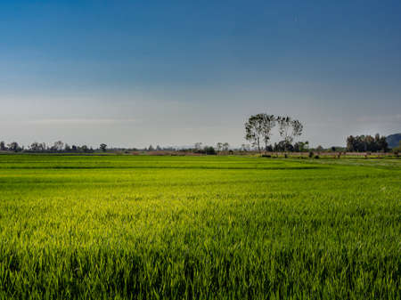 Lush wheat field on a spring day