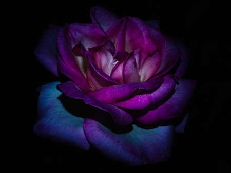 The rose queen of the garden at night Archivio Fotografico - 105318580