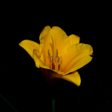 Yellow lily in the black night
