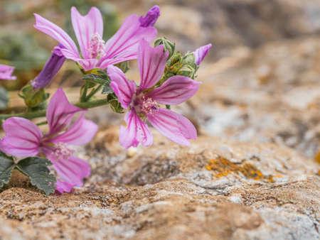 Malva sylvestris - spontaneous flower of the Tuscan mountains Archivio Fotografico - 131781469