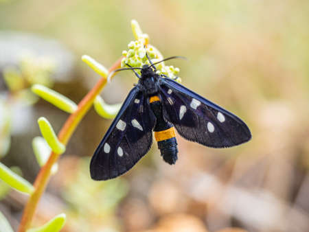Fegea - Amata phegea -Black insect with white spots and yellow details