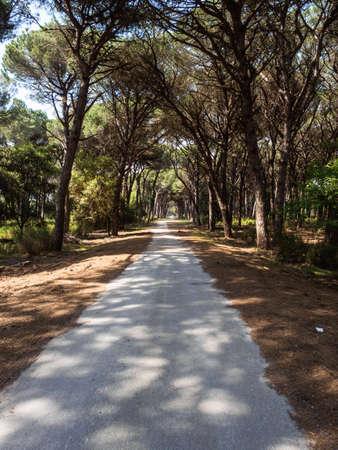 Dirt pathway in a Mediterranean pine forest Archivio Fotografico - 131781862