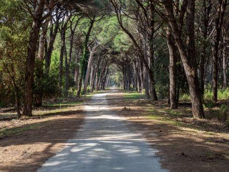 Dirt pathway in a Mediterranean pine forest Archivio Fotografico