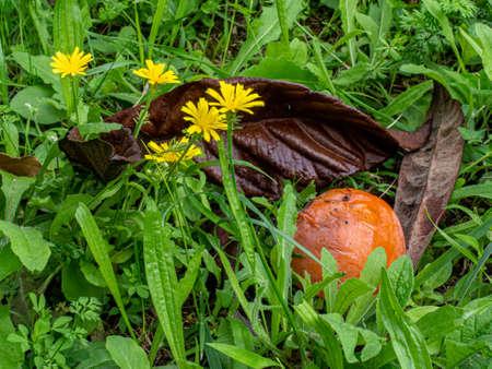 Persimmon, the colors of autumn color the gardens Archivio Fotografico
