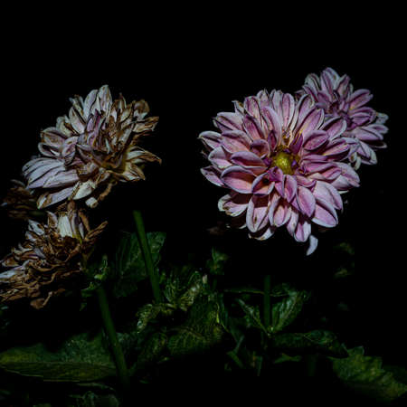 The dahlia flower colors the black of the night Archivio Fotografico - 131695124