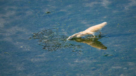squacco heron hunting for fish