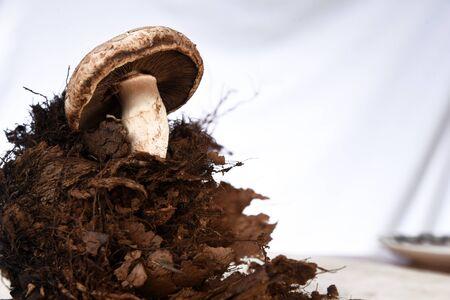Mushroom boletus edulis in forest ground wooden Background. Autumn Mushrooms gourmet food.