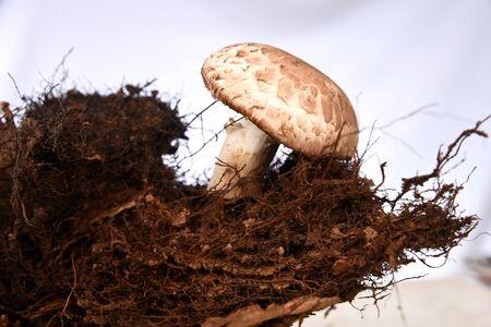 Mushroom boletus edulis in forest ground wooden Background. Autumn Mushrooms gourmet food. Stok Fotoğraf - 133833534