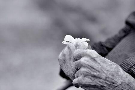 hands of an old gentleman holding a flower