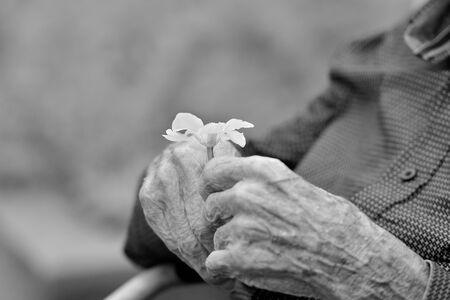 hands of an old gentleman holding a flower Zdjęcie Seryjne - 134749739