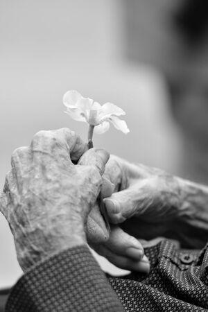 hands of an old gentleman holding a flower. Zdjęcie Seryjne - 134749712