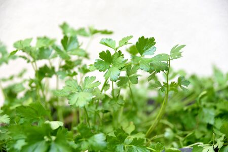 parsley leaves spice wet green leaves with water droplets on a blurred garden background. Focus concept. Space for text. Floral.