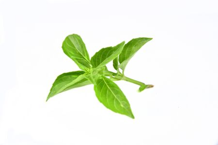 branch of tasty flavoring green basil isolated on white background for clipping