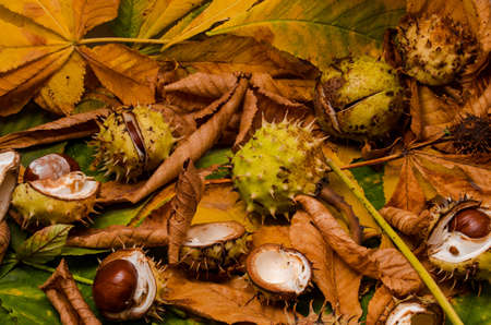 conkers: conker and leaves as backround at autumn