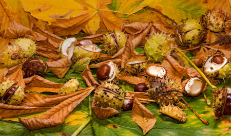 conker and leaves as backround at autumn photo