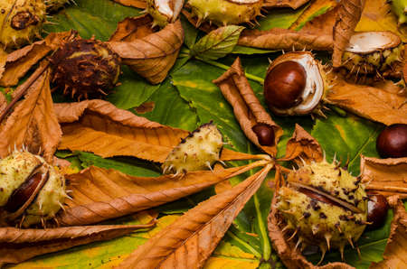 buckeye seed: conker and leaves as backround at autumn