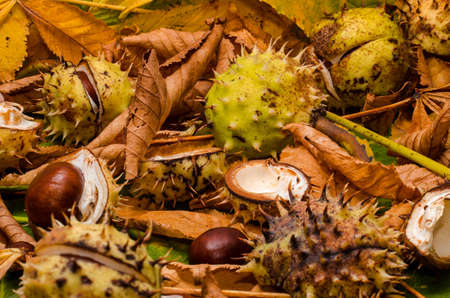 conker: conker and leaves as backround at autumn