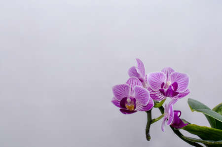 purple orchid at a withe backround isolated photo