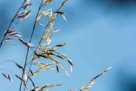 perfectly: Festuca ovina with sky perfectly useable as backround