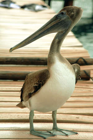 Pelican pose                              photo