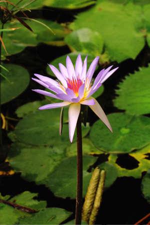 waterlillies:   water-lillie