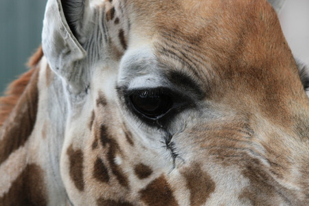 beatuful: Giraffe close up