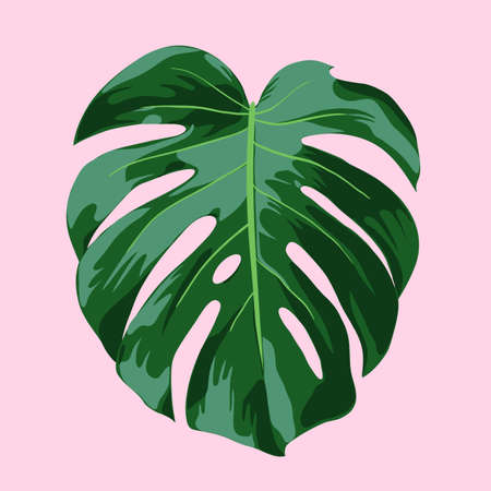 fully: Monstera Tropical Leaf Illustration - Realistic vector illustration of a Monstera Deliciosa leaf on a pink background. Vector file is fully layered and well organized. Illustration