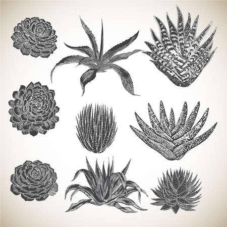 Vintage Hand Drawn Succulents Set - Collection of various succulents, hand drawn in a vintage style.