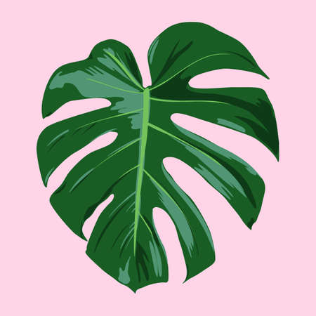 Tropical Monstera deliciosa leaf Çizim