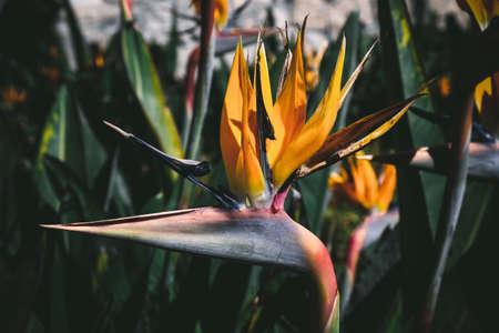 Strelitzia reginae or Bird of Paradise flower