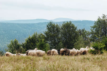 Picturesque landscape with flock of sheep in The Carpathians, Ukraine