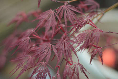 close up of Japanese maple photo