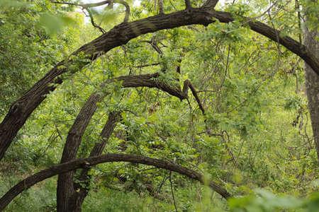 フォレスト内のツリーの円弧状 写真素材