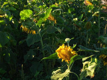 sunlit sunflowers in field in morning