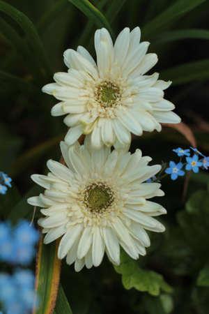 two Gerbera daisies up close