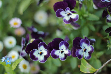close upof blue and white violas in garden